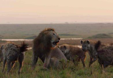 De película: la pelea de un león contra 20 hienas que se volvió viral